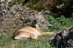 Wolf (Madrid Pixel) Tags: switzerland tierpark schwyz canoneos7dmkii goldau canonef70200f28isusml arth ch