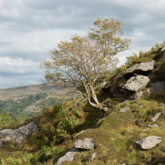 Isolated tree (StuMcP) Tags: dolwydellan tree hill mountains snowdonia wales stuartmcpherson 50mm rocks climb sheep isolated