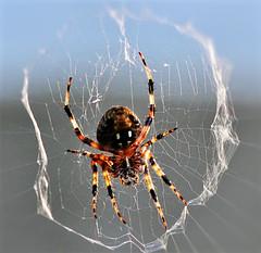 Neoscona domiciliorem Spider (Marie Brown Cottage Garden) Tags: spotted orb weaver spider
