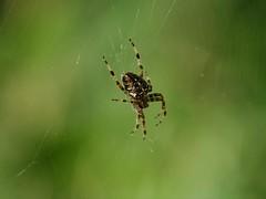 Garden Spider (Triker-Sticks) Tags: spider araneusdiadematus arachnid forest bedford england wildlife nature