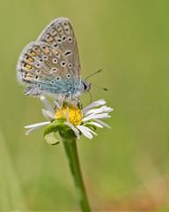 common blue butterfly (jolanda den hartog) Tags: polyommatusicarus icarusblauwtje commonbluebutterfly jolandadenhartog sigma105mm nikond810 megamacro netherland holland butterfly vlinder insect macro nature