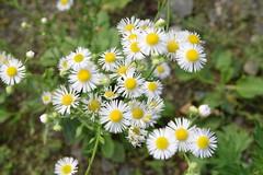 Gänseblümchen - daisy (Stefan Markus) Tags: gänseblümchen daisy nikon nikond5300 sigma sigma1750mmf28exdcos natur nature