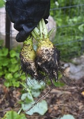 Turnips (Happy Autumn Everyone!!!) Tags: turnips fromthegarden hand stu compost roots
