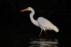 Great Egret_3201 (Ardea alba) (Neil H Mansfield) Tags: ardeaalba nsw nature native laurieton lake great greategret