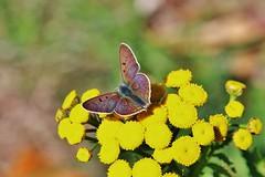 Butterfly (Hugo von Schreck) Tags: hugovonschreck schmetterling butterfly macro makro insect insekt canoneos5dsr buzznbugz tamron28300mmf3563divcpzda010