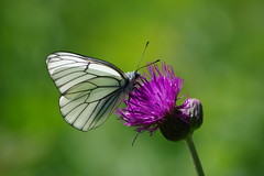 Baumweißling Kratzdistel (Aah-Yeah) Tags: baumweisling black veined white aporia crataegi schmetterling butterfly tagfalter kratzdistel achental chiemgau bayern