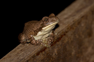 Veined Tree Frog (Trachycephalus typhonius)
