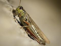 Monsieur Pamplemousse (bechristie) Tags: detail closeup bug cricket macro
