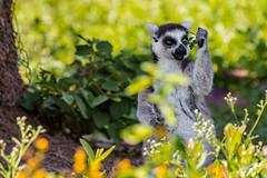 """""""¡Mi precioso!"""" (Alyaz7) Tags: nikond7200 lentenikonnikkorafs200500mm156eedvr rawquality zoofarimorelos animal naturaleza lemur plantas cómica funny primate méxico safari zoo nature verde green alyazphotography"""