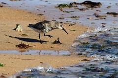 becasseau variable 26 (dmes55) Tags: dune oiseau bretagne bécasseau