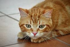 Spritz (En memoria de Zarpazos, mi valiente y mimoso tigre) Tags: cat chat chatonroux gingercat gato gatto gattoarancione micio gattorosso gatopelirrojo gatoatigradonaranja spritzeddu spritz