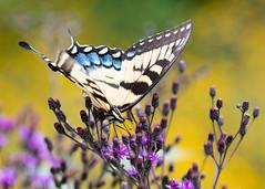 CherokeePark-1655_5x7 (Mike WMB) Tags: cherokeepark butterfly flora fauna summer