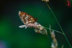 RRR05022-15 de julio de 2018 (Tres-R) Tags: entrerríos galicia españa es pontevedra rodolforamallo tresr sonyrx10iii butterfly mariposa bolboretas macro macrobiologia macros naturaleza nature airelibre