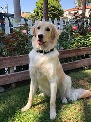 Duke (Alpen Schatz - Mary Dawn DeBriae) Tags: happy customer alpenschatz bernesemountaindog dog swissdogcolar hunterswisscrosscollar doggles stein