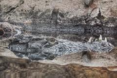 Double Crocodile (sander_sloots) Tags: crocodile diergaarde blijdorp rotterdam zoo animal water reflection krokodil reflectie