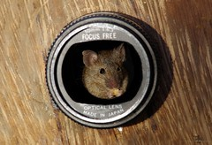 mouse in lens (1) (Simon Dell Photography) Tags: wild garden house mouse nature animal cute funny fun moss covered log pile acorns nuts berries berrys fuit apple high detail rodent wildlife eye ears door home sheffield ul old english country s12 simon dell photography food tree camera lens