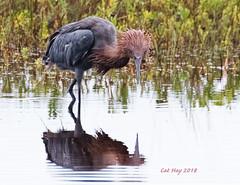 _C6A2145 Reddish Egret  8 Mile Rd  Galveston  2018-09-06.psd (cathyhay1) Tags: reddish egret 8 mile rd galveston 20180906