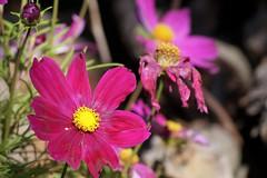 sensommar (aggeji) Tags: fs180909 sensommar fotosondag flower flowering rosenskära latesummer