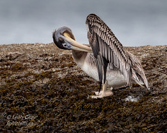 20180909-_47A9376.jpg (Spirithills (Leah Gray)) Tags: vancouverisland victoria bc brownpelican cattlepoint britishcolumbia shore