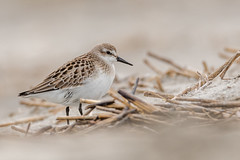 Semipalmated Sandpiper  (Explored 9/14/18) (Kevin Fox D500) Tags: sigma150600sport sigma shorebirds shorebird stoneharbor stoneharborpoint nature nikond500 nikon newjersey bird birding birdwatching birds