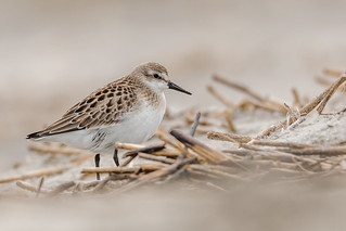 Semipalmated Sandpiper  (Explored 9/14/18)
