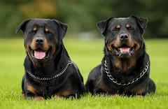 AC8I8699-Edit-1 (Dessie Loughery) Tags: rottweiler