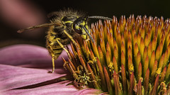 Dude! Where's me phone? (stevenbailey7) Tags: insects wasps nature macro colour echinacea focus new wow naturephotography closeup detail pink colourful natgeo walesonline bbcearth flickr walesinsects cool garden flower petals flora nice macrophotography macroinsects invertebrates arthropods entomology september light nikon tamron miridae spiky coneflower plants coolshot infocus shot top wildlife sting stinger apocrita awesome