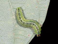 Sawfly (Ash Bradford) Tags: 60mmomzd arthropods em5ii lepidoptera md parkton twinlite animals caterpillars flash insects larvae macro nature summer trip maryland unitedstates us p8260384