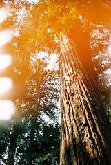 Redwood light Leak (andrewhyder) Tags: santacruz california 35mmfilm pentax filmisnotdead lightleak redwoods spotmatic