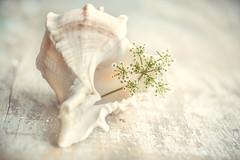 keeping secrets in my heart (Ayeshadows) Tags: seashell white queen anne lace flower