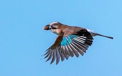Beak Full (UKCE) Tags: jay bird acorn food tree flight sky blue garrulus glandarius