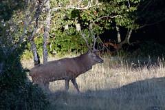 Cerf elaphe - cervus elaphus - deer (olivier teilhard) Tags: cerf cerfélaphe cervuselaphus deer nature sauvage libre vercors drôme rhônealpes france canon7dmarkii sigma150600 olivierteilhard