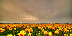 Tour of Tulips. (Alex-de-Haas) Tags: 11mm adobe blackstone d850 dutch hdr holland irix irix11mm irixblackstone lightroom nederland nederlands netherlands nikon nikond850 noordholland oudesluis photomatix photomatixpro schagerbrug beautiful beauty bloem bloemen bloementeelt bloemenvelden cloud clouds cloudscape drama dramatic floriculture flower flowerfields flowers landscape landschaft landschap lente lucht mooi nature natuur polder skies sky skyscape spectaculair spectacular spring sun sundown sunset tulip tulips tulp tulpen wolk wolken zonsondergang