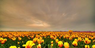 Tour of Tulips.