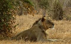 I wonder what the girls have got for dinner (lesleydugmore) Tags: plains africa kenya lion male outside outdoors safari