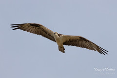 August 18, 2018 - An Osprey along the South Platte. (Tony's Takes)