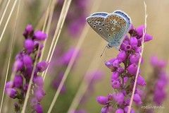 Summer with butterflys and heather (roelivtil) Tags: 7dwf butterfly commonblue crazytuesdaytheme icarusblauwtje macro summer vlinder