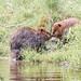 Castor du Canada - American beaver