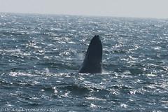 AHK_7522 (ah_kopelman) Tags: unkmncresli2018082201 2018 cresli creslivikingfleetwhalewatch megapteranovaeangliae montaukny vikingfleet vikingstarship breaching humpbackwhale juvenilehumpback whalewatch