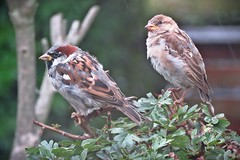 Oh no...here comes the rain (Deida 1) Tags: housesparrows male female birds rain shrub garden uk staffordshire wildlife