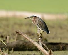 2018-08-23 Middlefork Savanna 4 (JanetandPhil) Tags: 2018naturepreservesvariouslocations birds middleforksavanna lakeforestil lakecountyforestpreservedistrict lcfpd nikon nikkor d800 800mmf56 greenheron butoridesvirescens