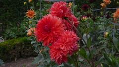 Dahlia au Jardin des Plantes de Rouen (jeanlouisallix) Tags: jardin des plantes rouen seine maritime haute normandie france parc park fleurs flowers nature dahlia macro
