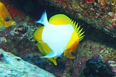 brights on (BarryFackler) Tags: marinelife coralreef tropical sea diving hawaii ocean scuba 2018 boatdive aquatic reef seacreature bigislanddiving hawaiidiving konadiving diver westhawaii kailuakona underwater vertebrate fish butterflyfish hemitaurichthyspolylepis pyramidbutterflyfish hpolylepis imikai konadivingcompany marine marinebiology marineecosystem marineecology nature barryfackler barronfackler bigisland biology bay being creature coral zoology animal northkona sealifecamera sandwichislands saltwater sealife dive fauna hawaiiisland hawaiicounty hawaiianislands kona konacoast life pacificocean polynesia pacific organism outdoor island undersea ecology ecosystem water wildlife