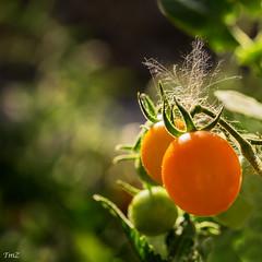Douceur de tomates !! (thierrymazel) Tags: tomates cerises tomato légume bokeh pdc dof profondeurdechamp jaune orange yellow