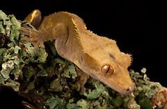 New Caledonian Crested Gecko (Les Cornwell Photos) Tags: wildlife studio flash wex newcaledoniancrestedgecko reptile gecko macro captive