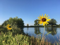 August 31, 2018 - Wild sunflowers on a pond. (LE Worley)