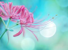 The season will change soon (Tomo M) Tags: lycorisradiata redspiderlily 曼珠沙華 彼岸花 autumn nature season bokeh petal helios pastel soft dreamy
