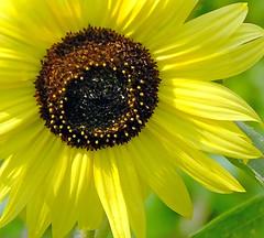 Sunflower Close Up (Cornishcarolin. Stupid busy!! xx) Tags: cornwall httpswwwedenprojectcom nature flowers sunflowers plants