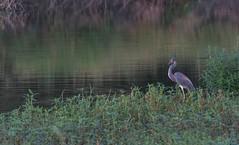 NX7_Sol300mm_GBP180902_124 (b.r.carpenter) Tags: tricolored heron bayou manual focus