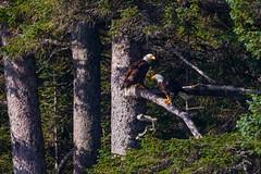 Double Eagle  3I5679 (Dr DAD (Daniel A D'Auria MD)) Tags: baldeagle eagle raptor birdsofprey bird birds birding nature wildlife officialbirdoftheusa symbol americanbaldeagle richmond
